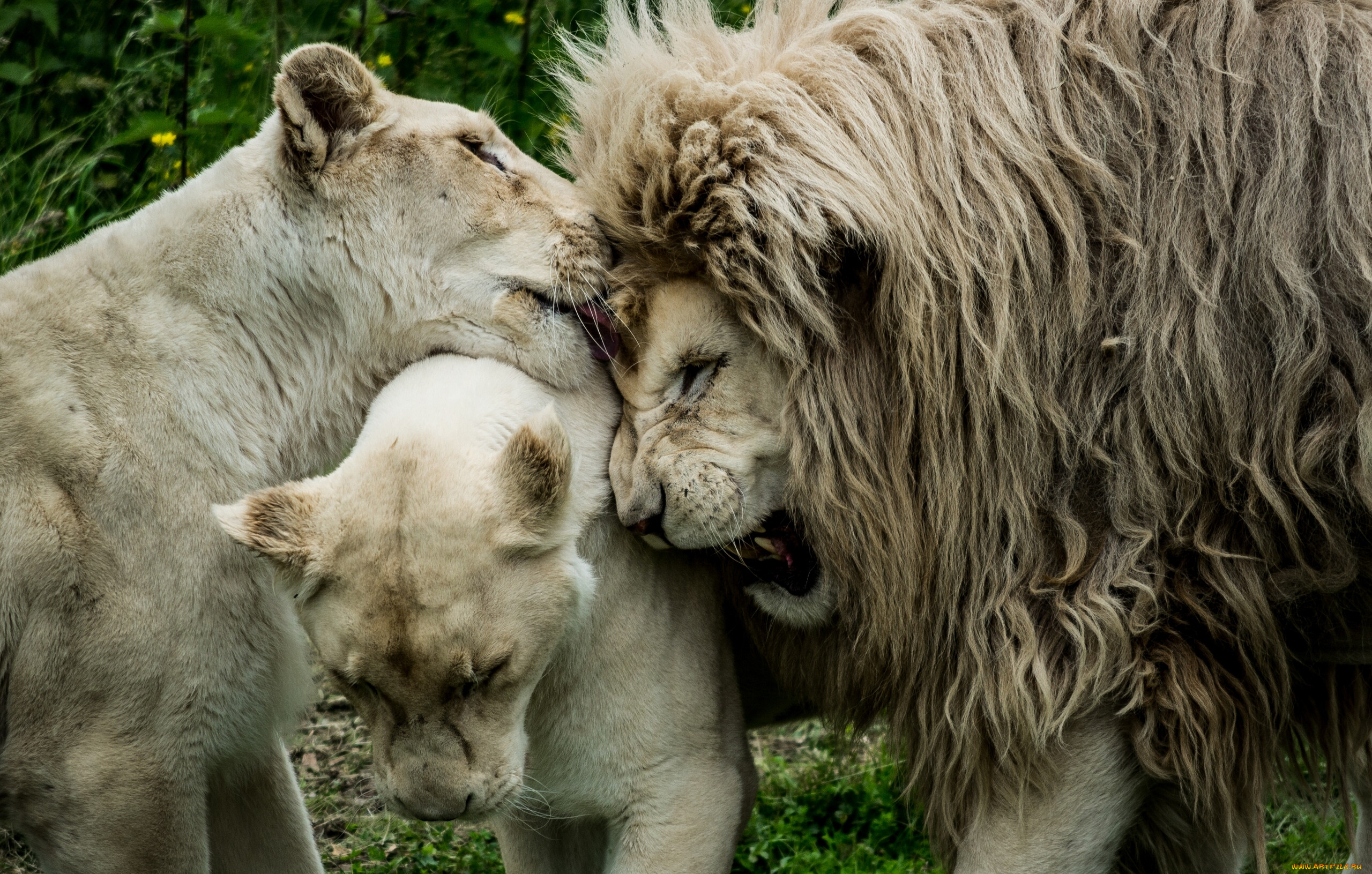 лев в картинках о любви жилище канделаки